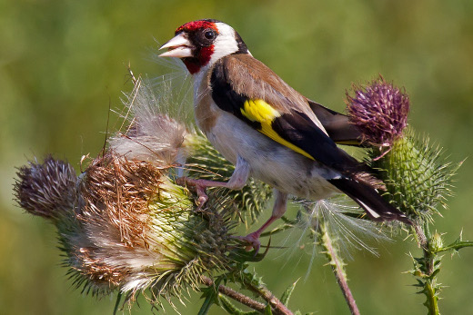 European_Goldfinch_on_Spear_Thistle_520x347